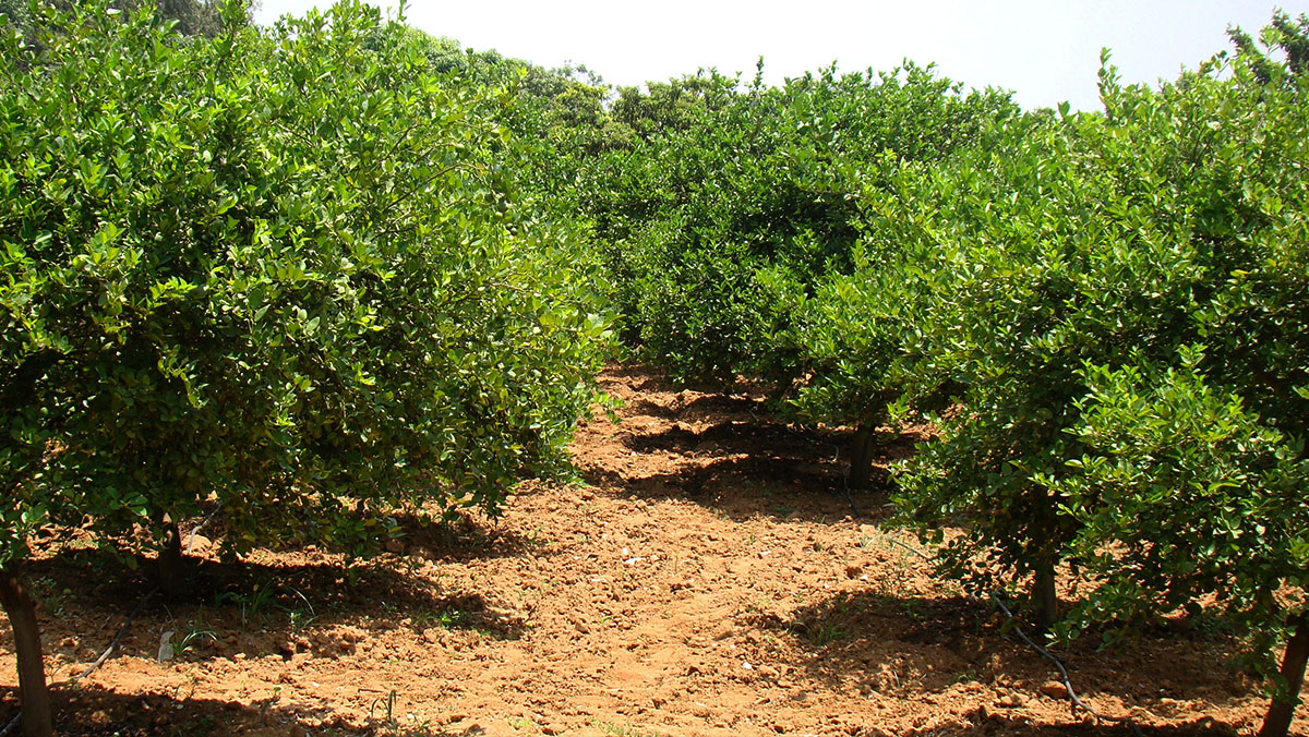 Lemon Plantation